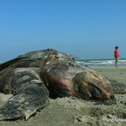 Unsustainable fishing and tourism are killing sea turtles in St. Martin's Island