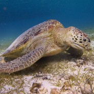 Making TEDs viable, saving sea turtles