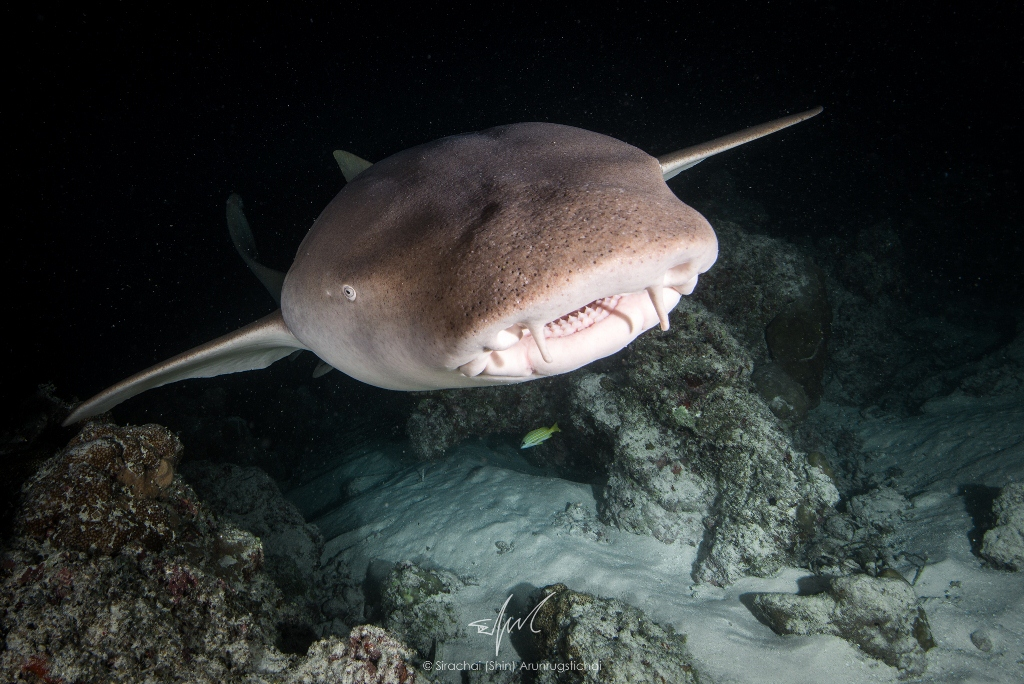 A Nurse shark in Indian Ocean.